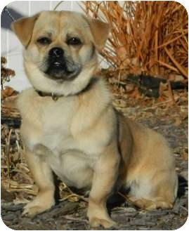 Pug/Terrier (Unknown Type, Small) Mix Dog for adoption in Columbus, Nebraska - Bullet