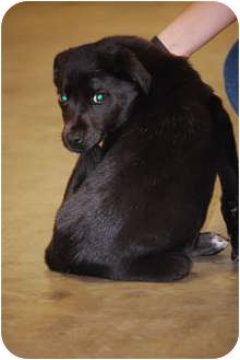 Labrador Retriever Mix Puppy for adoption in Cranford, New Jersey - Cookie