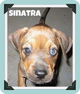 Beagle/Labrador Retriever Mix Puppy for adoption in South Plainfield, New Jersey - Sinatra