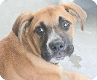 Boxer Mix Puppy for adoption in Pompton Lakes, New Jersey - Frack