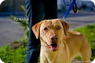 Labrador Retriever Dog for adoption in Burbank, California - Wyatt~Labby Sweet Boy!
