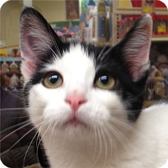 Domestic Shorthair Kitten for adoption in Weatherford, Texas - Domino