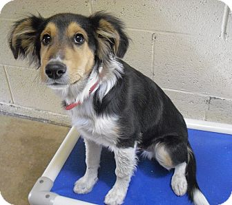 Sheltie, Shetland Sheepdog Mix Dog for adoption in Wickenburg, Arizona - Spur