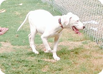 Great Dane Mix Dog for adoption in Cat Spring, Texas - Quinn