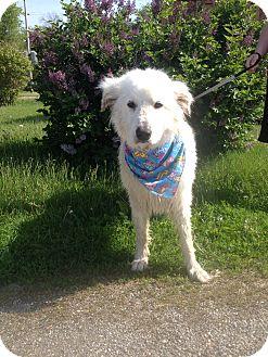 Great Pyrenees Mix Dog for adoption in Easton, Illinois - Sasha