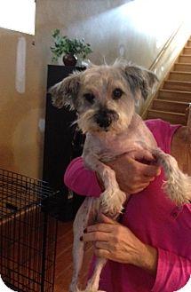 Schnauzer (Miniature) Mix Dog for adoption in Chicago, Illinois - Britta