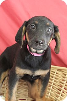 Labrador Retriever Mix Puppy for adoption in Waldorf, Maryland - Mary