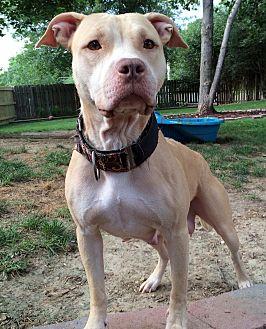 American Pit Bull Terrier/Labrador Retriever Mix Dog for adoption in O'Fallon, Missouri - Freyja