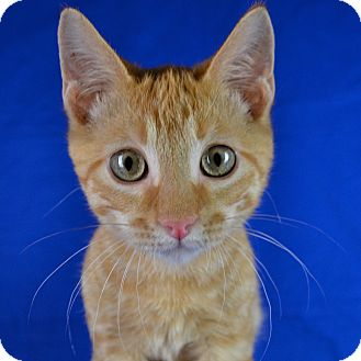 Domestic Shorthair Kitten for adoption in Carencro, Louisiana - Hercules