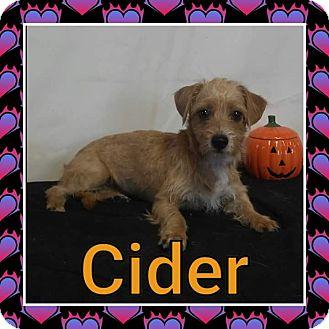 Cairn Terrier/Border Terrier Mix Puppy for adoption in Pahrump, Nevada - Cider