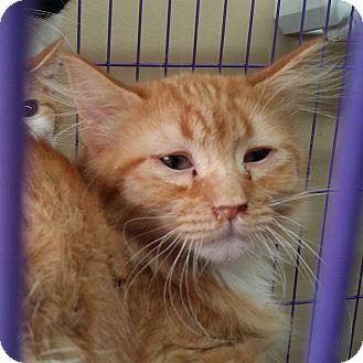 Domestic Longhair Cat for adoption in Pueblo, Colorado - Peter
