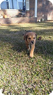 Labrador Retriever Mix Puppy for adoption in Camilla, Georgia - Teddy