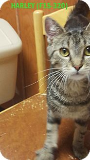 American Shorthair Cat for adoption in Tiffin, Ohio - HARLEY