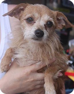 Chihuahua Mix Dog for adoption in Staunton, Virginia - Hairy