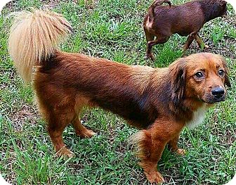 Dachshund/Border Collie Mix Dog for adoption in Andalusia, Pennsylvania - Fern