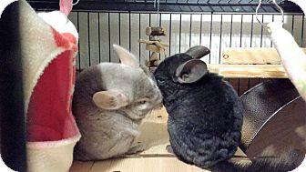 Chinchilla for adoption in Avondale, Louisiana - Xena & Ebby