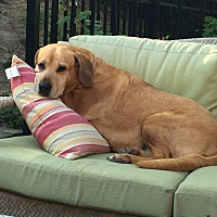 Labrador Retriever Mix Dog for adoption in Sagaponack, New York - Nika