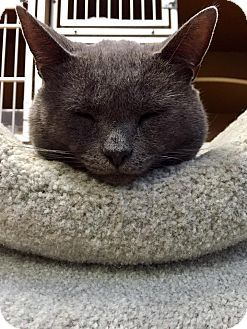 Russian Blue Cat for adoption in Somerville, Massachusetts - BooBoo Kitty (Somerville)