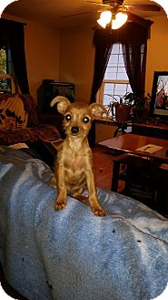 Chihuahua/Terrier (Unknown Type, Small) Mix Puppy for adoption in Bellingham, Washington - Caramel
