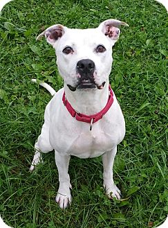 Pit Bull Terrier Mix Dog for adoption in Lisbon, Ohio - Princess- URGENT!!
