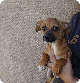 Dachshund/Chihuahua Mix Puppy for adoption in Oviedo, Florida - Gemini