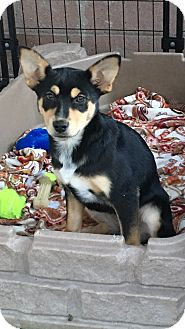 Anatolian Shepherd/Australian Cattle Dog Mix Puppy for adoption in Carson, California - EDIE