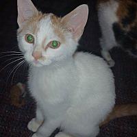 Adopt A Pet :: Butterscotch - Albemarle, NC