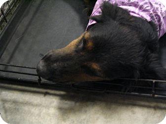 Rottweiler/Spaniel (Unknown Type) Mix Dog for adoption in Melrose, Florida - Gator