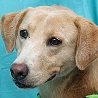 Labrador Retriever Mix Dog for adoption in New Roads, Louisiana - Zoie