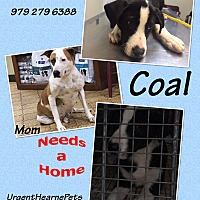 Adopt A Pet :: Coal - Hearne, TX