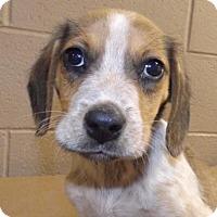 Adopt A Pet :: Sawyer - Oxford, MS