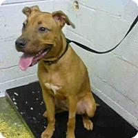 Labrador Retriever Dog for adoption in Atlanta, Georgia - CHOPPER