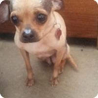 Adopt A Pet :: Scarlet - Cripple Creek, CO