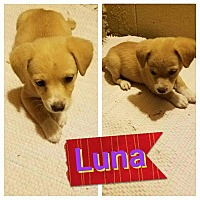 Adopt A Pet :: Luna - LAKEWOOD, CA