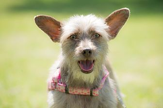 Wirehaired Fox Terrier Mix Puppy for adoption in Corona, California - Sandy