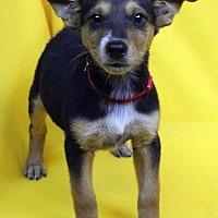 Adopt A Pet :: Julisa - Westminster, CO