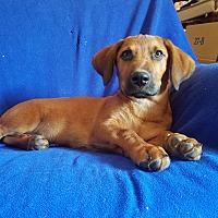 Labrador Retriever Mix Puppy for adoption in Trenton, New Jersey - Sam (see video)