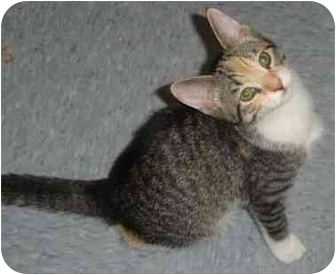 Domestic Shorthair Kitten for adoption in Chester, Maryland - Scully