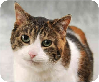 Domestic Shorthair Cat for adoption in Chicago, Illinois - Lady Bug