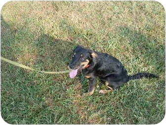 Australian Shepherd Mix Puppy for adoption in Somerset, Kentucky - Alex (Alfie)