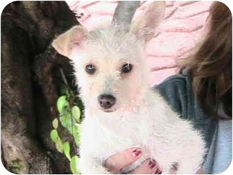 Terrier (Unknown Type, Small) Mix Puppy for adoption in Poway, California - OPRAH