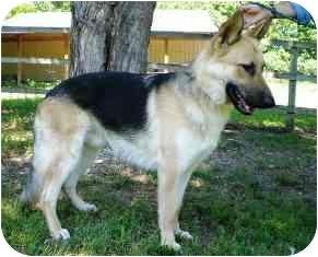German Shepherd Dog Dog for adoption in Osseo, Minnesota - Harley