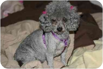 Toy Poodle Dog for adoption in Sherman Oaks, California - Lady