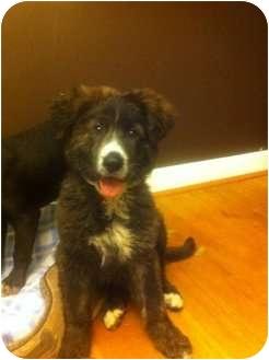 Border Collie/Newfoundland Mix Puppy for adoption in Alexandria, Virginia - Blair