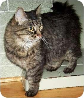 Norwegian Forest Cat Cat for adoption in Chicago, Illinois - Gretchen