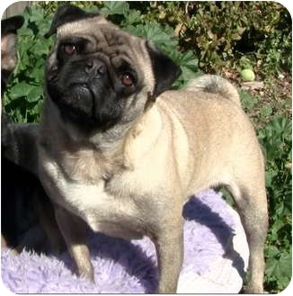 Pug Mix Dog for adoption in Pasadena, California - Frank