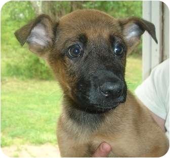 Shepherd (Unknown Type)/Labrador Retriever Mix Puppy for adoption in Old Bridge, New Jersey - Barin