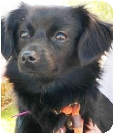 Spaniel (Unknown Type)/Papillon Mix Dog for adoption in Castro Valley, California - Vera