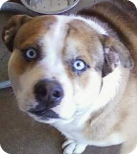 Zeke Adopted Dog 9187184975 Muskogee Ok English Bulldog Australian Shepherd Mix