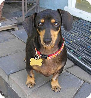 Dachshund Dog for adoption in San Jose, California - Cassie